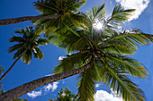 Coconut palms on the beach, Cocos nucifera, Praia da Cueira, Boipeba Island, Bahia, Brazil, South America