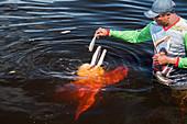Man feeds Amazon dolphin, Inia geoffrensis, tourist demonstration, Amazon near Manaus, Amazon basin, Brazil, South America