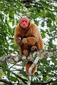 Red-headed uakari, female, Cacajao calvus, Rainforest, Amazon, Amazon Basin, Amazonia, Brazil, South America