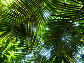 Palm leaves in the rainforest on the Amazon near Manaus, Amazon Basin, Brazil, South America