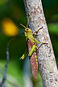 Large grasshopper in the Amazon rainforest near Manaus, Amazon Basin, Brazil, South America