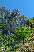 Deciduous trees stand in the steep flanks of the Ruta del Cares Gorge, Cares Gorge, Picos de Europa, Picos de Europa National Park, Cantabrian Mountains, Asturias, Spain