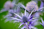 Blue blooming man litter, noble thistle, eryngium, Picos de Europa, Picos de Europa National Park, Cantabrian Mountains, Asturias, Spain