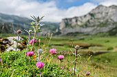 Flower meadow with clover and man litter, mountains out of focus in the background, Picos de Europa, Picos de Europa National Park, Cantabrian Mountains, Asturias, Spain