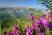 Pink blooming heather with mountains out of focus in the background, from Picu Tiedu, Picos de Europa, Picos de Europa National Park, Cantabrian Mountains, Asturias, Spain