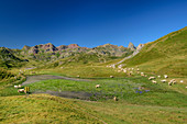 Large herd of cows grazes at Col de Peyrelue, Pyrenees National Park, Pyrénées-Atlantiques, Pyrenees, France
