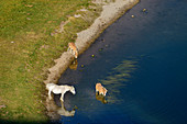 Horse and two foals stand on lakeshore, Lac Roumassot, Pyrenees National Park, Pyrénées-Atlantiques, Pyrenees, France