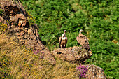 Two griffon vultures sitting on ledge, Gyps fulvus, Pyrenees National Park, Pyrénées-Atlantiques, Pyrenees, France