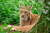 Lynx, lynx, Poing Wildlife Park, Upper Bavaria, Bavaria, Germany