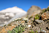 Edelweiss with Johannisberg out of focus in the background, Glockner Group, Hohe Tauern, Hohe Tauern National Park, Carinthia, Austria