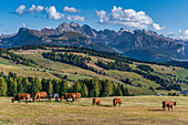 Grazing cows with a breathtaking view of the surrounding mountain landscapes on the Alpe di Siusi in South Tyrol, Italy