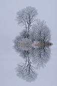 Small group of trees in winter in Kochelmoos, Kochel am See, Upper Bavaria, Bavaria, Germany