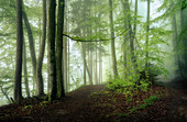 Morning in the spring beech forest, Bavaria, Germany