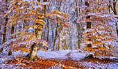 European beeches in autumn after the first snowfall, Isar Hochufer, Baierbrunn, Bavaria, Germany