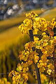 Golden October in the vineyard, Winningen, Moselle, Rhineland-Palatinate
