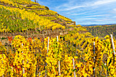 Autumn in the vineyards near Winningen on the Moselle, Rhineland-Palatinate, Germany