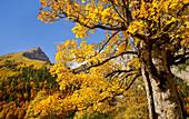 Bergahorn im Karwendel im Herbst, Eng Alm, Hinterriß, Karwendel, Tirol, Österreich