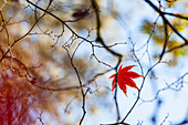 A single leaf in autumn colours on a branch in the Westonbirt Arboretum, Gloucestershire, UK