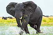 Elephant walking through water, Chobe National Park, Botswana, Africa