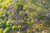 Aerial view of elephant, Okavango Delta, Botswana, Africa
