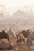 Pushkar camel fair, Pushkar, Rajasthan State, India