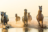 White horses running through water, The Camargue, France