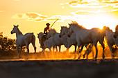 Cowboy herding wild horses at sunset