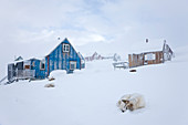 Husky in snow outside houses, Tasiilaq, Greenland