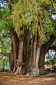 El Arbol del Tule (Tule Tree, Montezuma cypress) is a tree located in the church grounds in the town center of Santa Maria del Tule in the Mexican state of Oaxaca, approximately 9 km east of the city of Oaxaca on the road to Mitla, southern Mexico.