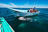 Whale watching in Magdalena Bay in Baja California Sur in northern Mexico