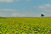 A small tree stands in the middle of a large sunflower field, near Perugia, Italy