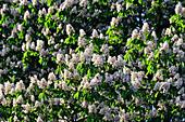 Chestnut tree in bloom, Zwentendorf an der Donau, Austria