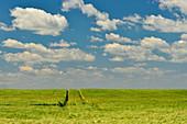 Spuren in einem Kornfeld und blauer Himmel, bei Nadasd, Ungarn