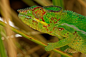 Panther chameleon in the Jardin d'Eden.