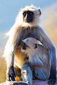 Offspring of Grey Hanuman Langur monkeys in Jaipur, Rajasthan, India