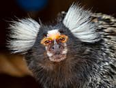 Common marmoset Callithrix jacchus, Captive