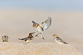 Snow Bunting (Plectrophenax nivalis) 2 winter plumage females fighting on beach, Horsey, Norfolk, January