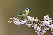 Blue Tit (Cyanistes caeruleus) adult, perched on frost covered twig with blossom, Suffolk, England, January