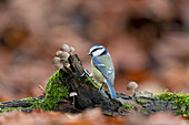 Blue Tit (Cyanistes caeruleus) adult, perched on log with fungi on woodland floor, Suffolk, England, December