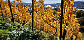 Autumn vineyard near Bad Honnef-Rhöndorf, Germany
