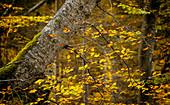 Herbstlaub im Buchenwald südlich von München, Oberbayern, Bayern, Deutschland, Europa