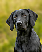 Portrait of a young labrador retriever