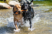 Two Labrador Retrievers romp in the river