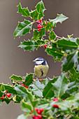 Blue Tit (Cyanistes caeruleus) adult perched on European Holly (Ilex aquifolium), Suffolk, England, December