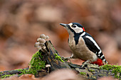 Great Spotted Woodpecker (Dendrocopos major) adult male, perched on log with fungi on woodland floor, Suffolk, England, UK, December
