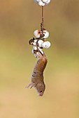 Harvest Mouse (Micromys minutus) adult hanging from Snowberry twig with berries, Suffolk, England, UK, November, controlled subject