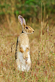 Indian Hare (Lepus nigricollis) Adult alert for danger in Yala West National Park, Sri Lanka.