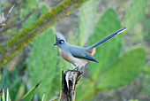 Crested Coua (Coua cristata) Adult in the Berenty Reserve, Madagascar.