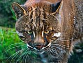 Asian golden cat Catopuma temminckii Captive