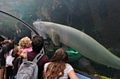 SYDNEY - FEB 21 2019:Visitors looking at  a male Dugong in Sydney Aquarium. Only three Dugongs are held in captivity worldwide and the IUCN lists the dugong as a species vulnerable to extinction